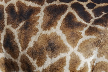 Closeup skin pattern of the Giraffe