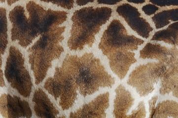 Closeup skin pattern of the Giraffe