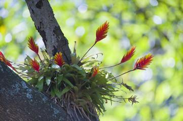Bromelia Vriesea carinata