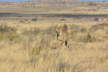 Shot of An African Cheetah in the wild
