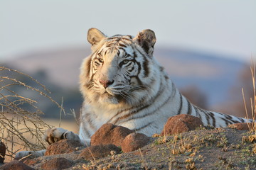 Portrait of a extremely rare Wild Tiger