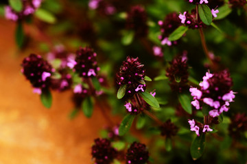 Thyme herb in bloom