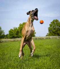 Great Dane leaping for orange ball near chin