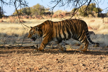 Shot of a prowling tiger