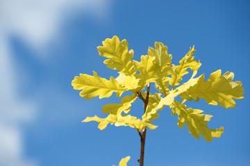 Листва молодого дуба на фоне неба