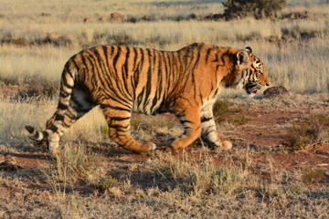 Panning shot of a moving tiger