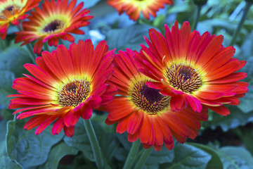 Red and yellow gerbera flowers.