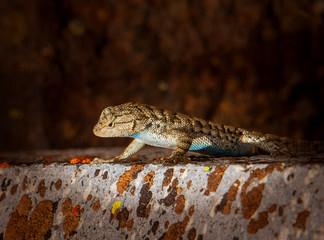 Desert Spiny Lizard looks over the edge