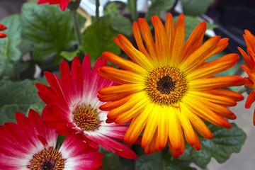 Bright gerbera daisies.