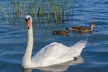 Mute swan (Cygnus olor)