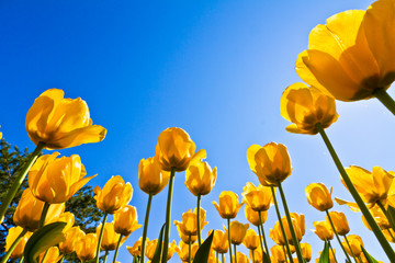 Yellow tulip flower with blue sky as background