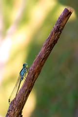 Libellula, damigella su rametto, macro sfondo verde