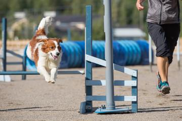 Dog jumps over an agility hurdle