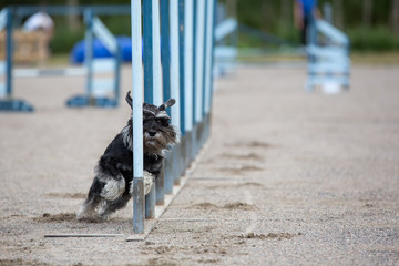Dog in the agility slalom