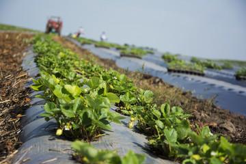 Strawberries plantation