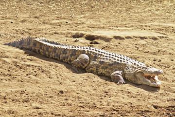 Crocodile on the Masai Mara in Africa