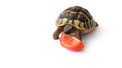 Small Tortoise eating tomatoes