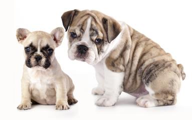 english Bulldog puppy and French Bulldog