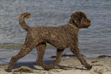 Labradoodle am Strand