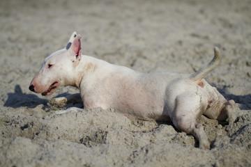 Bullterrier am Strand liegend