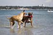 Boxer und Vizsla Mischling spielend im Wasser