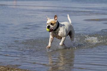 Englische Bulldogge beim Ballspielen im Wasser