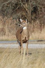 Deer Looking Right