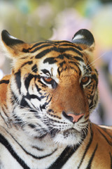 close up face of indochinese tiger use for animals and wild life