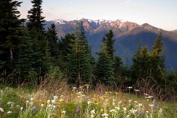 Alpine Meadow Wildflowers Hurricane Ridge Olympic Mountains