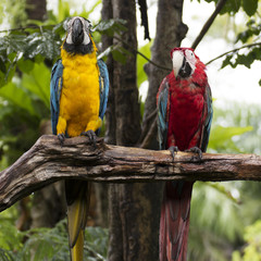 scarlet macaws on the tree