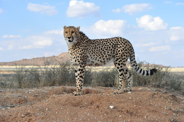 Portrait shot of an elegant African Cheetah