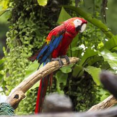 Parrots: scarlet macaw