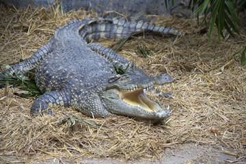 Сиамский крокодил лежит с открытой пастью
