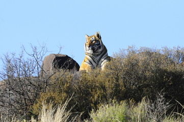 A tiger sits on a rock, checking out its surroundings.