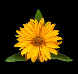 Yellow daisy flower on black