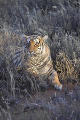 Portrait shot of a Bengal Tiger in the wild