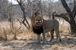 Portrait shot of a African male Lion