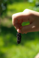 mulberry in hand,berry fruit in nature,