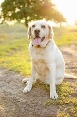 Labrador in sunlight