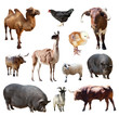 bulls and other farm animals. Isolated over white