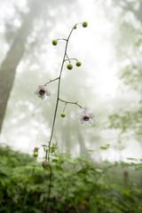 霧の森の中のレンゲショウマ