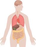 Human Body Anatomy - Brain, Lungs, Heart, Liver, Intestines