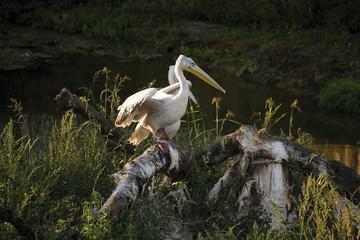 Pelikane, Gelsenkirchen, Zoom Erlebniswelt, Deutschland