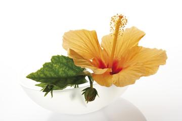 HibiskusBlüte, Blüten, Blumen (Hibiscus )
