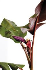 Bananenpflanze ( Musa ),close-up