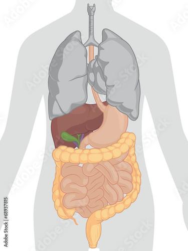Human Body Anatomy - Digestive System - 68937815