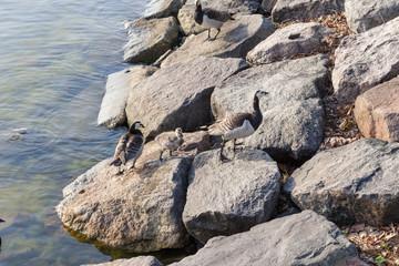 Helsinki, Finland. Wild geese