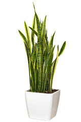 Sansevieriya houseplant in a large white pot