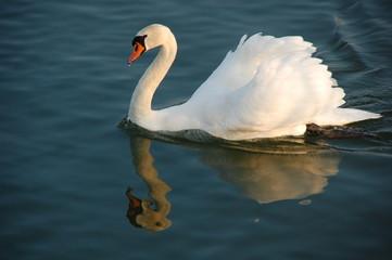 Schwimmender Schwan mit Spiegelbild