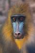 Mandrill monkey closeup